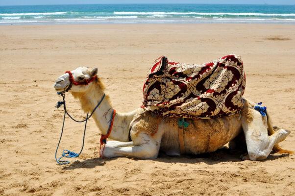 Marokko Agadir liegendes Kamel