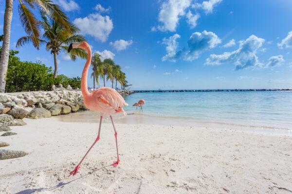 Aruba Strand Flamingo