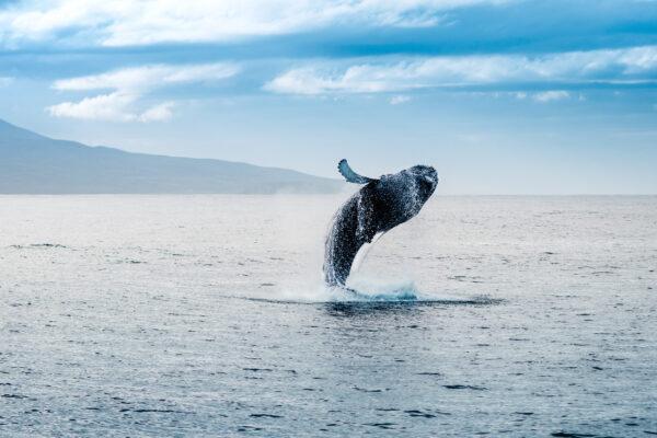 Island Meer Wal