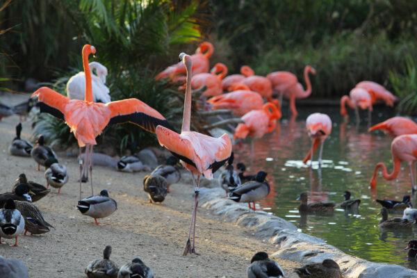 USA San Diego Flamingos