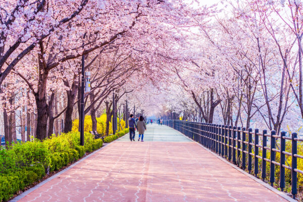 Korea Seoul Kirschblüten