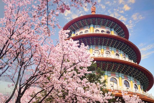 Taiwan Taipei Kirschblüten