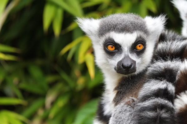 Madagaskar Lemur