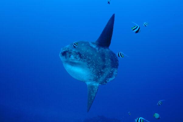 Nusa Lembongan Mola Mola