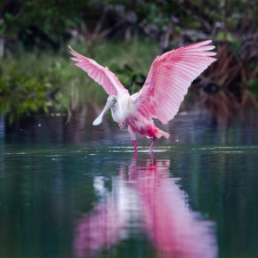 USA Everglades Nationalpark Löffler