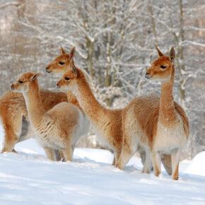 Winterspecial: Glühwein-Wanderung mit Lamas bei Bayern Lamas für 12€
