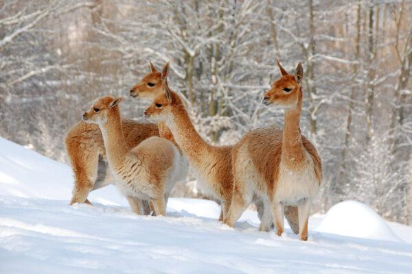 Lama Winter Schnee