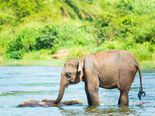 Sri Lanka Elefantenbaby