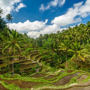 Bali Ubud Reisterrassen