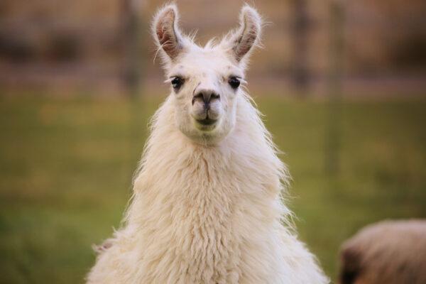 Lama weiß