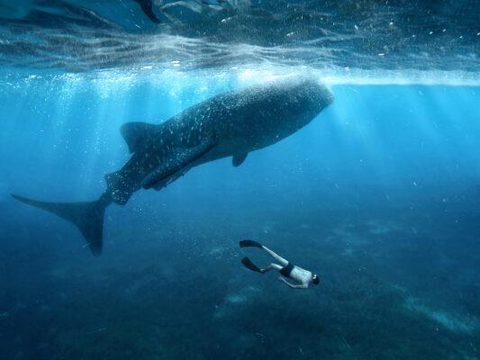 Philippinen Cebu Walhai