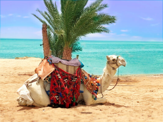 Ägypten Marsa Alam KamelÄgypten Marsa Alam Kamel