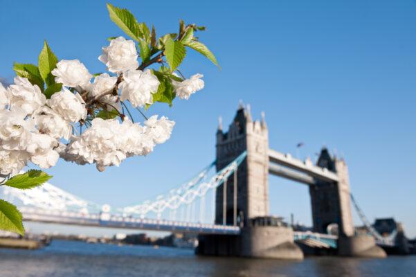 Großbritannien London Frühling Kirschblüte