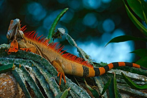 Costa Rica Corcovado Nationalpark Echse