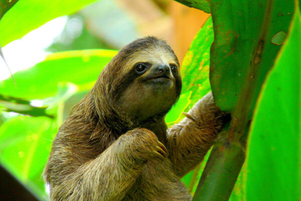 Costa Rica Puerto Viejo Faultier