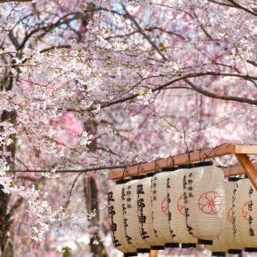 Japan Kirschblüte Lampigons