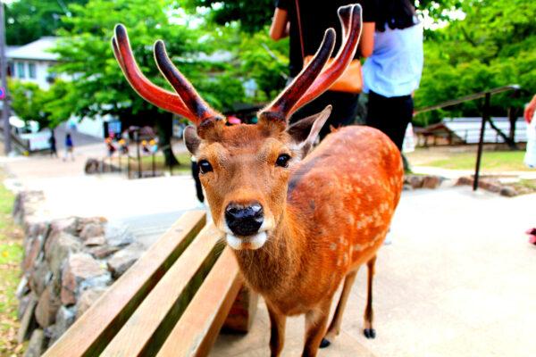 Japan Nara Park Hirsch