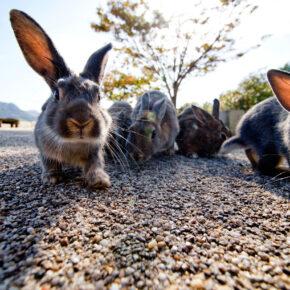 Ōkunoshima Tipps: Die Geschichte von Rabbit Island