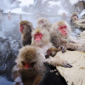 Japan Onsen Affen