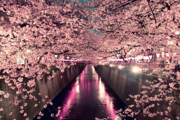Japan Tokio Kirschbluete