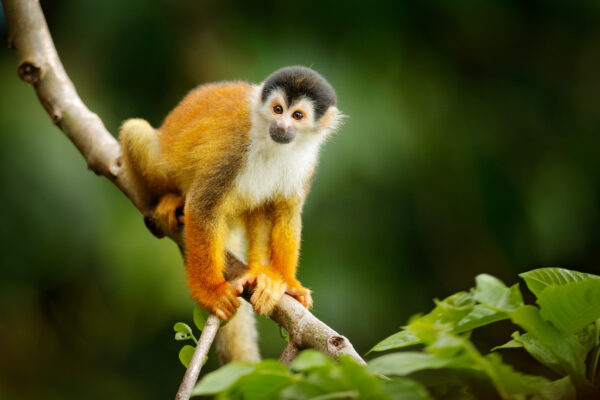 Panama Affe Nationalpark