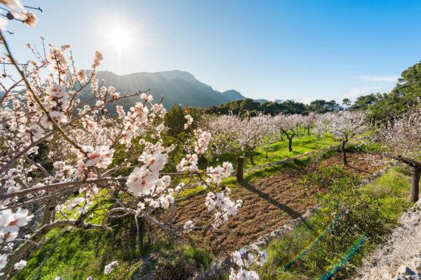 Spanien Mallorca Mandelblüte Baum