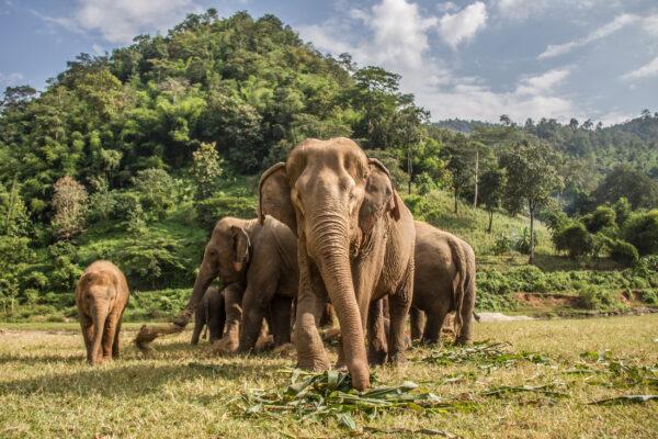 Thailand Chian Mai Elefanten