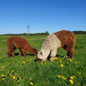 Übernachten umgeben von Alpakas: 2 Tage im Schlafwürfel auf Alpaka-Farm im Sauerland für 60€