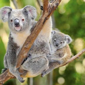 """Für den Artenschutz: """"Volkszählung"""" von Koalas in Australien geplant"""