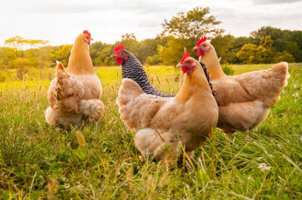 Bauernhof Hühner