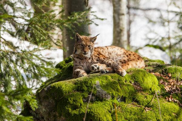 Bayern Nationalpark Bayerischer Wald-luchs
