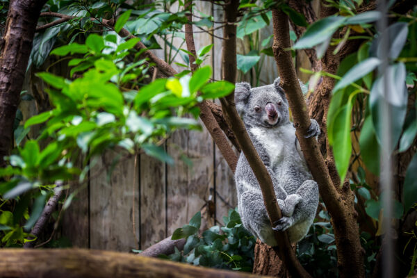 Duisburg Zoo Koala