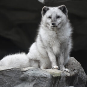Hellabrunn Zoo Polarfuchs