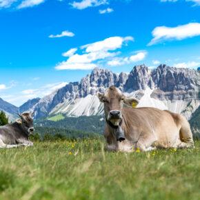 Italien Südtirol Dolomiten Kuh