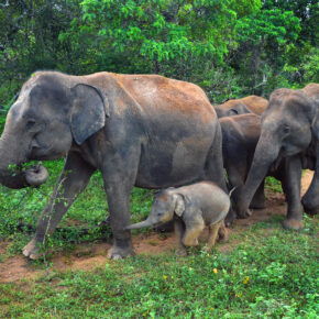 Sri Lanka Elefantenfamilie