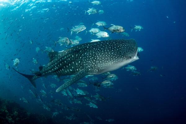 Sri Lanka Walhai
