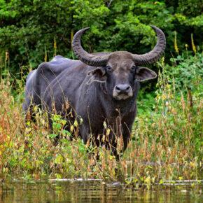 Sri Lanka Wasserbuffalo