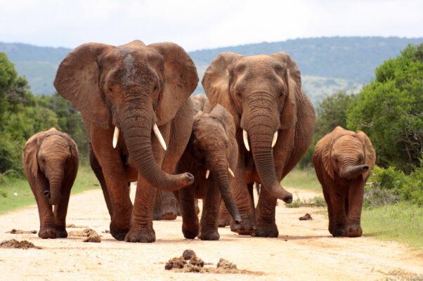 Südafrika Addo Elefant Park Elefanten