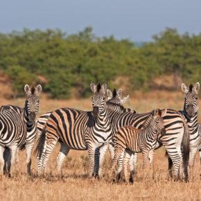 Südafrika Kruger Nationalpark Zebras