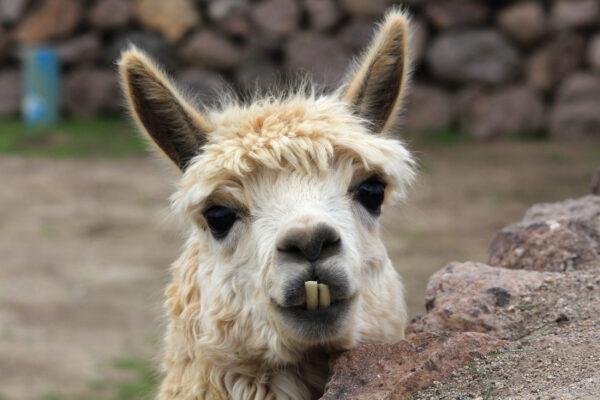 Chile Lama