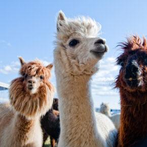 Gutschein: 2 Tage Alpakakuscheln im Schlafwürfel auf Alpaka-Farm nur 60€ p.P.
