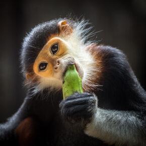 Vietnam Affe Banane