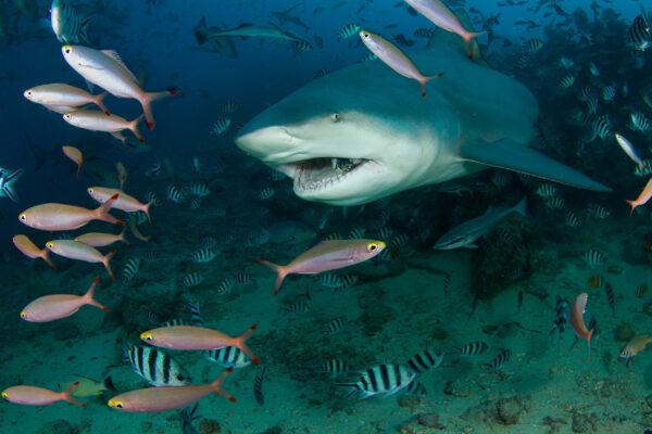 Fidschi Hai tauchen