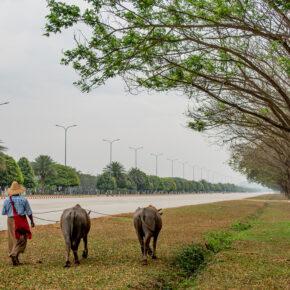 Myanmar Naypyidaw Büffel