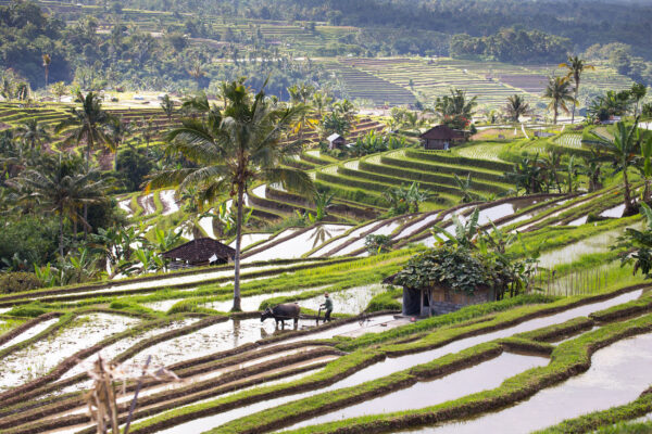 Indonesien Bali Reisterasse Jatiluwih