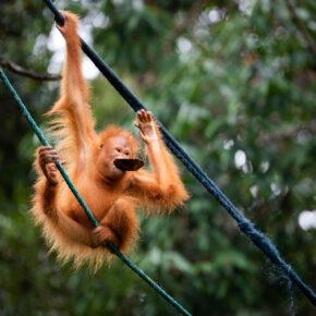 Indonesien Borneo Affe