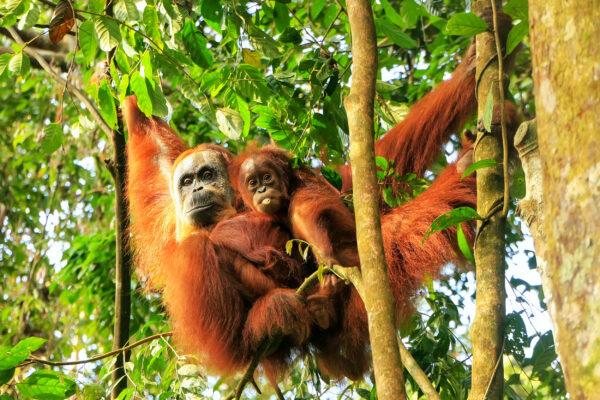 Indonesien Sumatra Gunung Leuser Orang Utan