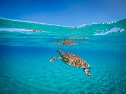 Curacao Meeresschildkroete