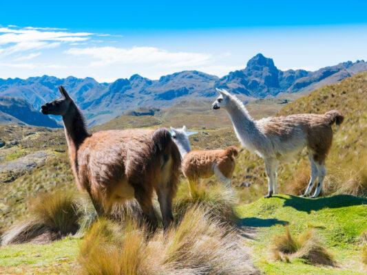 Ecuador Cajas Park Lamas