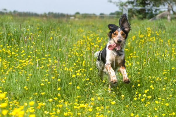 Hund Wiese Happy Zunge